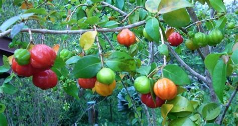 surinam cherry only ripe need apply eat the weeds and other things