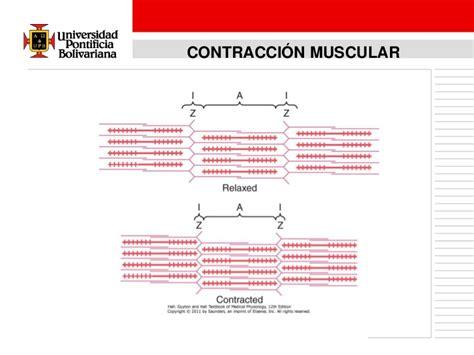 cadenas musculares espiral segundos mensajeros y fisiologia muscular
