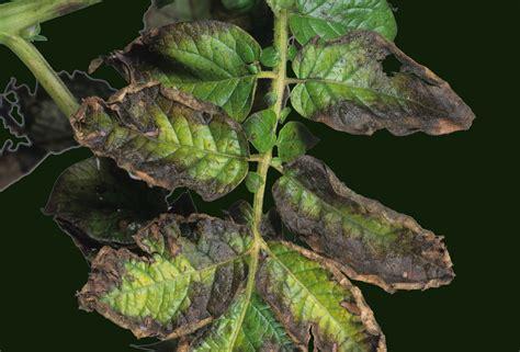 potassium deficiency in plants www pixshark com images