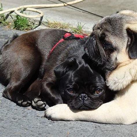 pugs not hugs 14 pugs that to hug