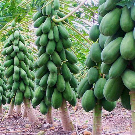 Papaya Garden by 8pcs Home Garden Maradol Papaya Seeds Vegetable Fruit Tree
