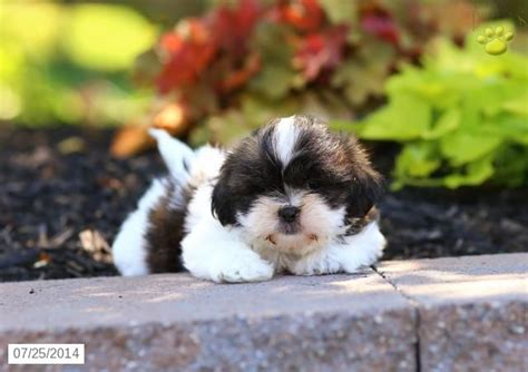 lancaster puppies shih tzu 28 best shih tzu images on puppies for sale shih tzu puppy and pennsylvania