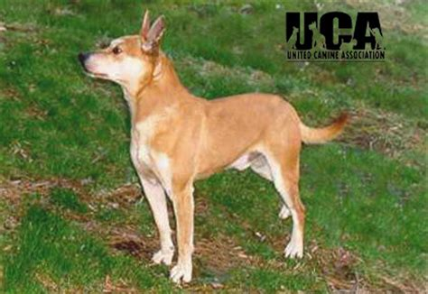 feist breed feist information and pictures united canine association
