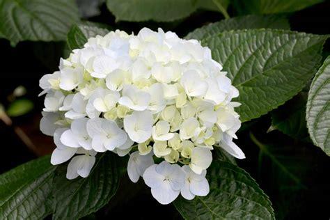 imagenes de hortencias blancas c 243 mo cuidar las hortensias 7 claves para su cuidado