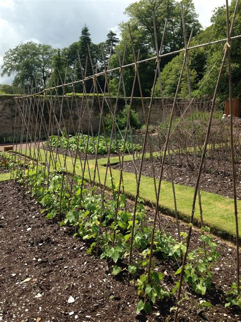 Vegetable Garden Structures Peas And Beans Structures Pea Canes Bean Canes