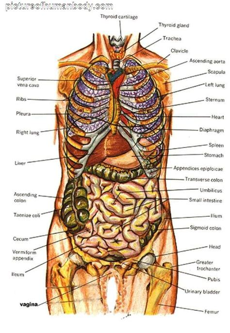 diagram of the human and organs diagram of human organs picture of organs