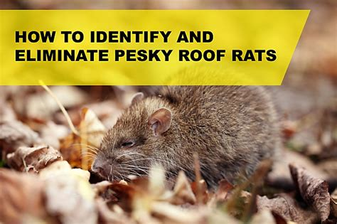 how to get a rat out of your house how to deal with rats and mice in your house discover autos post