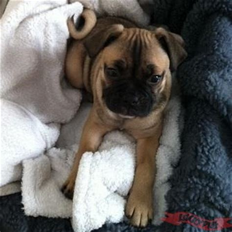 frenchie cross pug frug pug bulldog mix breeds picture