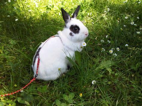 coniglio nano in giardino conigli come portarli a passeggio
