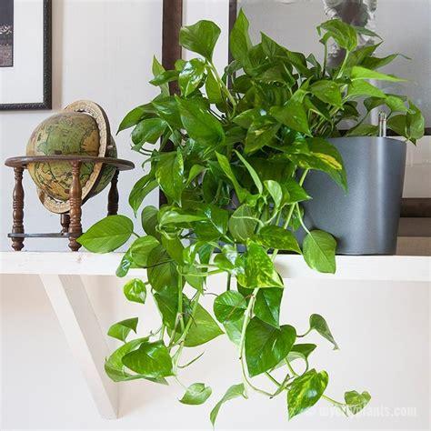 Kleine Kamerplanten Weinig Licht by 18 Kamerplanten Die Goed Tegen Weinig Licht En Aandacht