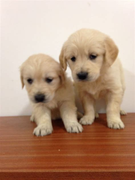 8 week golden retriever puppies for sale 2 golden retreiver puppies for sale stoke on trent staffordshire pets4homes