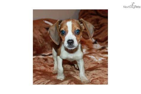 teacup beagle puppies for sale teacup beagles for sale va breeds picture