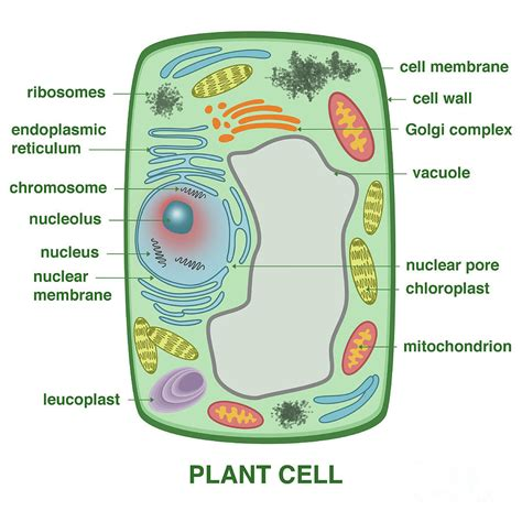 plant cell photograph  gwen shockey