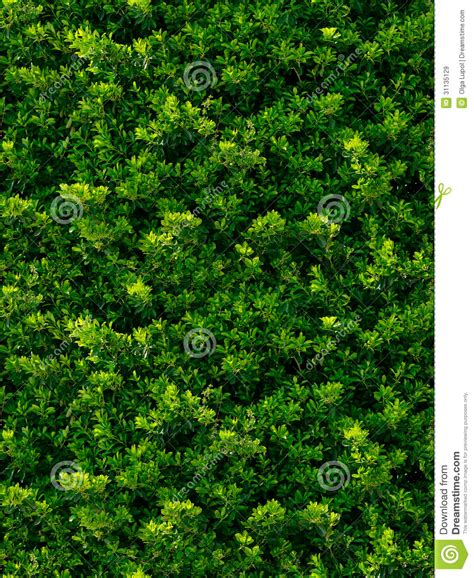 pattern bush leaf green seamless texture of green leaves royalty free stock images