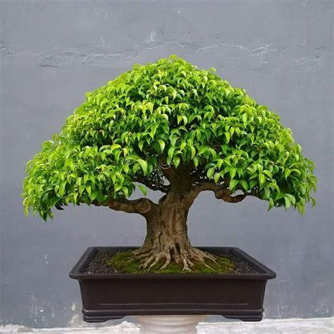 Bonsai Ficus Kaufen by Best 25 Bonsai Ficus Ideas On Ficus Bonsai