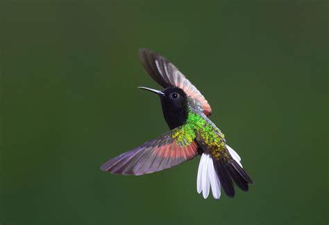 black bellied hummingbird eupherusa nigriventris near