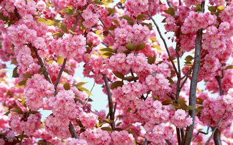 Flower In Bloom pink flowers bloom wallpapers hd wallpapers