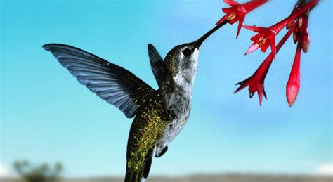 image gallery hummingbird eating