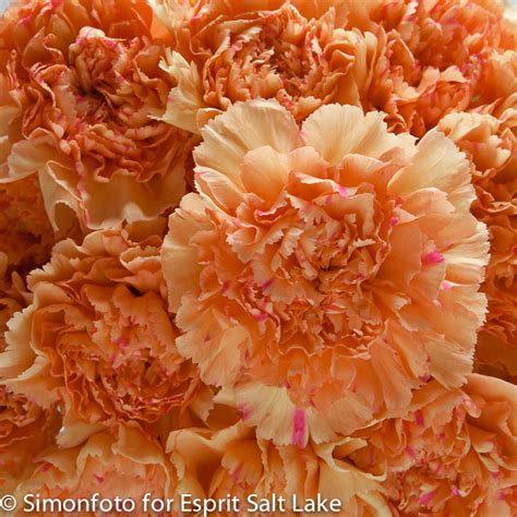 quot king quot orange bi color carnation carnations flowers