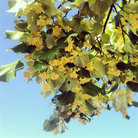 tree scents linden tree scent images