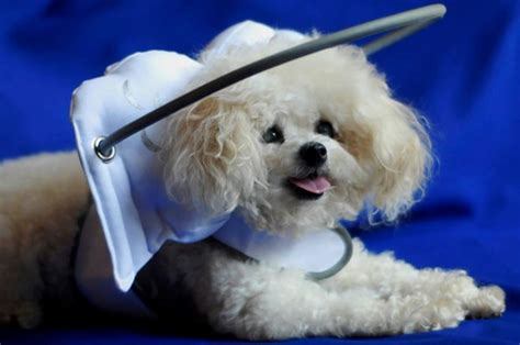 halo for blind dogs muffin s halo is a fashionable guide for blind dogs