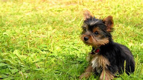 alpha yorkies tiere terrier hund welpen s 252 223 tiere pet wallpaper