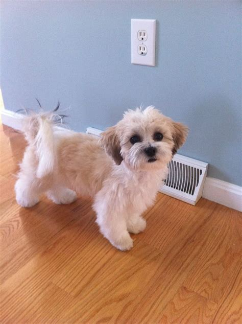 shichons haircut 20 best shichon images on pinterest teddybear bear