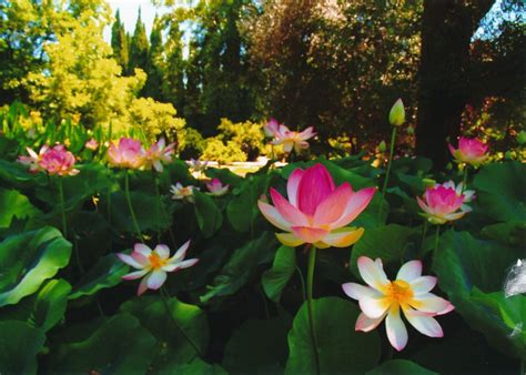 Lotus Flower Garden Santodyan Vedanta Society Of Sacramento