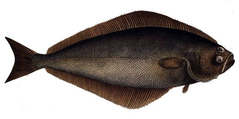 atlantic halibut wikipedia