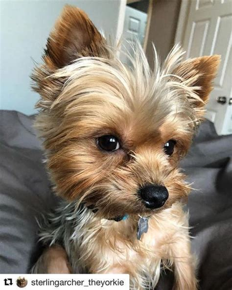 most popular haircut for morkie dogs 20 adorable yorkie haircuts yorkie hair styles to try
