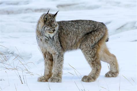 heat l for cats lynx cat winter wallpaper 2048x1366 169596