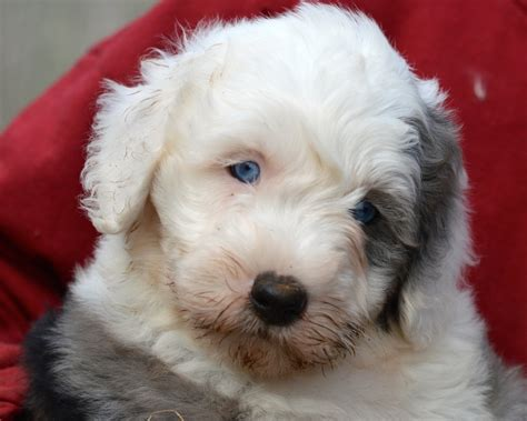 mini sheepadoodle puppies for sale mini sheepadoodle puppies pa breeds picture