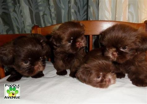 liver brown shih tzu chocolate shih tzu animals pets philippines chitku ph