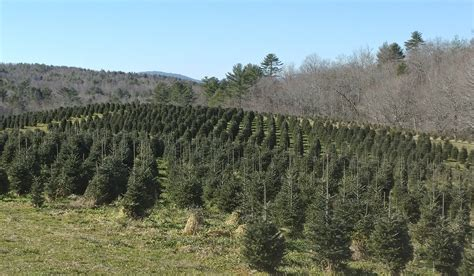 piper mountain christmas tree farm for sale official tree of carolina is the fraser fir