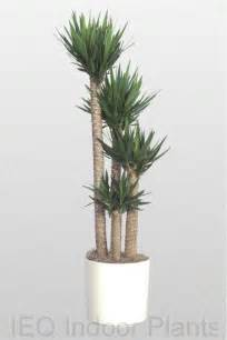 Indoor Palm by 25 Best Ideas About Indoor Palms On Pinterest Palm