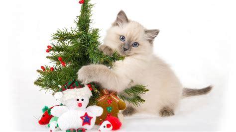 funny cat christmas wallpaper wallpapersafari