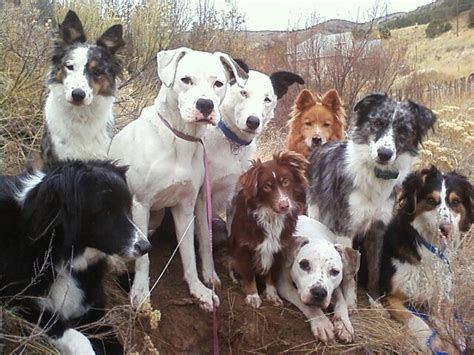 are dogs pack animals dogs household and pack obedience superdog