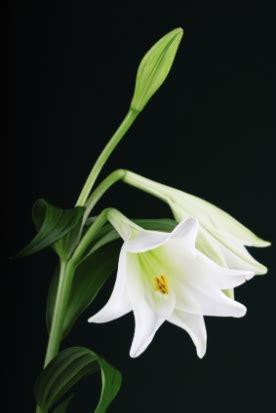 weisse lilien mit vase trauerfloristikorg