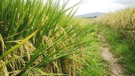 tanaman padi  awalnya  menguning menjadi berbulir
