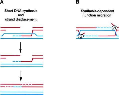 how is the template strand for a particular gene