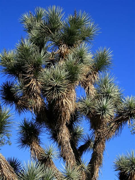 yucca palme für draußen free photo yucca plant desert arizona free image on