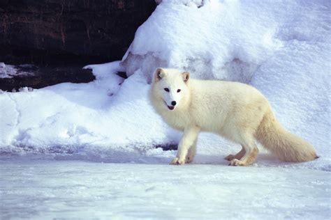 animals in the winter 7 animals that turn white in winter fun animals wiki