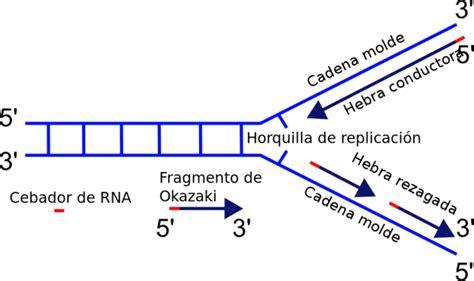 son cadenas de adn 191 qu 233 son los fragmentos de okazaki lifeder