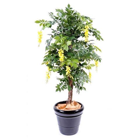 pianta glicine vaso glicine in vaso piante da terrazzo glicine in vaso pianta