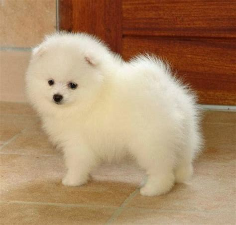 smallest pomeranian breed 17 best ideas about small breeds on small dogs small puppy