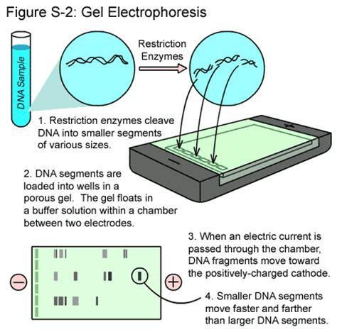 diagram of electrophoresis gel electrophoresis goo