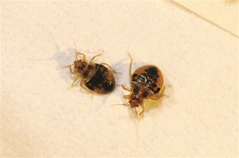 bed bugs pictures stages bedbug life stages bedbug life cycle