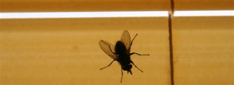 what do house flies eat what do flies eat and drink ehrlich pest control