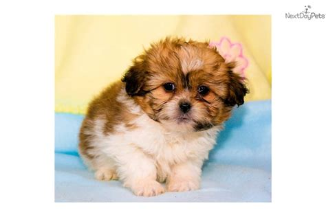 shih tzu puppies for free shih tzu for sale teacup shih tzu shih tzu breeds shihtzu for sale breeds picture