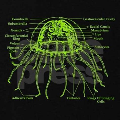 diagram of a jellyfish diagram of jellyfish s plus size v neck by